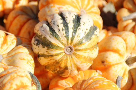 flattened: Dumpling squash, Cucurbita pepo, mini sized fruits less than 10 cm across, flattened top, broadly ribbed, creamy white with green to orange stripes on grooves and sweet soft textured orange flesh. Stock Photo