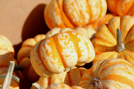broadly: Dumpling squash, Cucurbita pepo, mini sized fruits less than 10 cm across, flattened top, broadly ribbed, creamy white with green to orange stripes on grooves and sweet soft textured orange flesh. Stock Photo