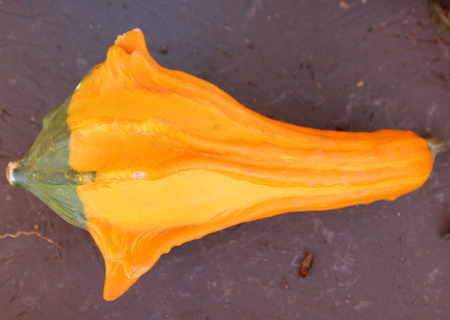 gradual: Ornamental gourd, Autumn Wings, Cucurbita pepo, small gourd with broad winged top shaped base and gradual neck, green base, orange above, used for Halloween decorations.