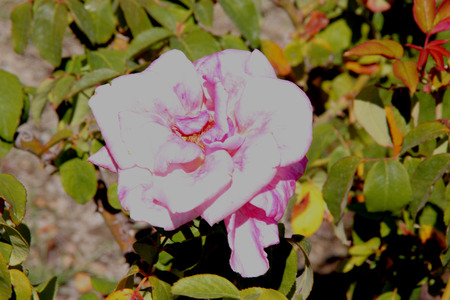lavender coloured: Rosa Memorial Day, Hybrid Tea Rose, medium tall bush with double orchid pink colored flowers washed by gentle blush of lavender, on long stalk, with strong damask fragrance.