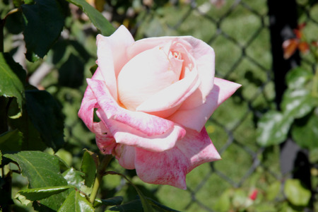 Rosa New Zealand, Hybrid Tea Rose cultivar with dark green lustrous foliage and highly fragrant luminous shell pink flowers 10-15 cm across with numerous petals.