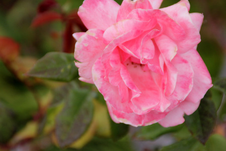 Rosa Queen Elizabeth, a Grandiflora rose, hardy shrub with large pink moderately fragrant double flowers in clusters,