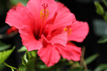 versicolor: Hibiscus rosa-sinensis Pink Versicolor, cultivar with large pink flowers with dark eye, long blooming and easy to grow Stock Photo