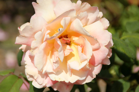 tahitian: Rosa Tahitian Sunset, Hybrid Tea Rose, bushy plant with green leaves and fragrant sunset shade doubly fragrant flowers on long stalk.