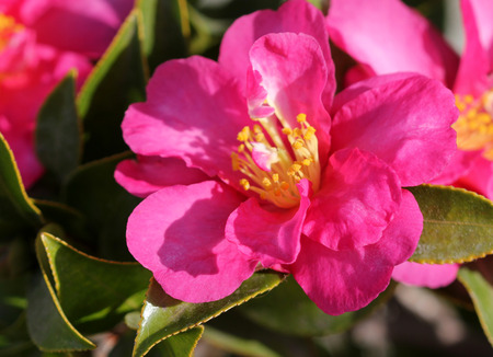 serrate: Camellia sasanqua, sasanqua camellia, ornamental shrub with lustrous serrate simple leaves up to 5 cm long and magenta to pink colored rose like flowers with yellow anthers.