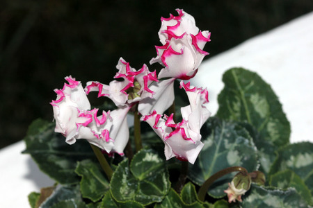 smaller: Cyclamen persicum Metis Select Victoria, cultivar with smaller plant with dark green leaves with silver mottlings, small white flowers with crinkled pink margin, lasting for longer time. Stock Photo