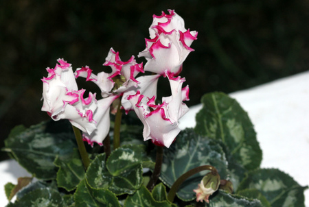 Cyclamen persicum Metis Select Victoria, cultivar with smaller plant with dark green leaves with silver mottlings, small white flowers with crinkled pink margin, lasting for longer time. Stock Photo
