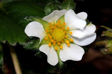 Flowers of Fragaria x ananassa, Garden strawberry, perennial spreading by runners, with trifoliate leaves, white flowers and red fruits with numerous seeds.