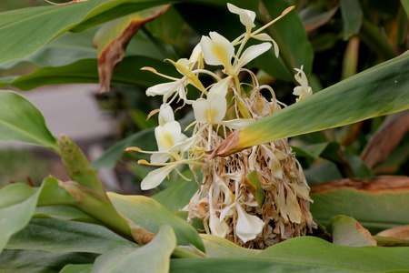 Hedychium flavescens, Cream garland-lily, Yellow ginger, rhizomatous perennial herb with broad leaves and fragrant pale yellow flowers with deeper yellow center.