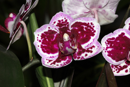 Phalaenopsis, Moth Orchid Red, ornamental herb with moth like large flowers on a long axis with beautiful red patches