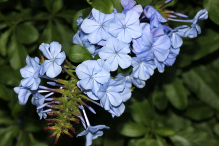 Plumbago auriculata, Blue Plumbago, Cape leadwort, evergreen shrub often climbing with glossy green leaves and blue flowers in clusters