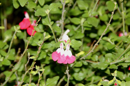 Salvia microphylla Hot Lips, perennial subshrub with opposite small leaves and bicolored doll like flowers, white in upper part, red in lower part.