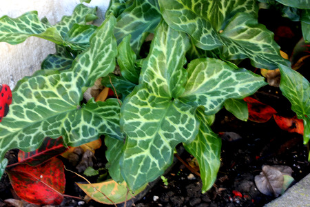 Arum italicum, Italian snakeshead, Italian Lords-and-ladies, tuberous perennial with arrow shaped spotted leaves and white spadix enclosed by a pale green spathe