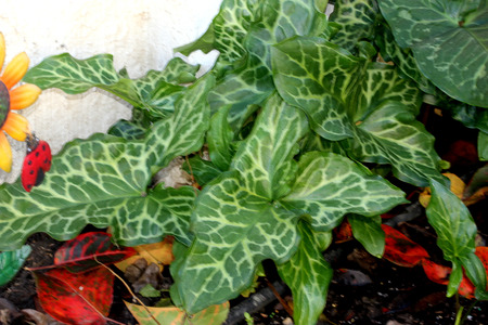 arum: Arum italicum, Italian snakeshead, Italian Lords-and-ladies, tuberous perennial with arrow shaped spotted leaves and white spadix enclosed by a pale green spathe