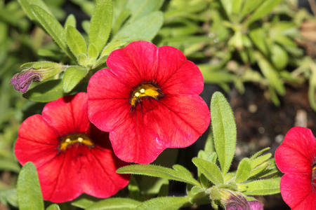 Calibrachoa Mini Famous Compact Red, Mini petunia, early flowering compact interspecific hybrid cultivar with trailing habit and red flowers with chocolate colored throat and yellow anthers. Stock Photo