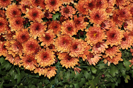 garden mum peach chrysanthemum morifolium dwarf compact cultivar with green leaves and peach colored - Garden Mum