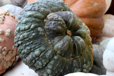 greyish: Marina Di Chioggia Squash, Cucurbita maxima, cultivar with bumpy turban shaped fruits greyish green in color with sweet yellow dry flesh, cooked and Halloween decoration. Stock Photo