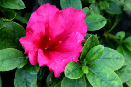 Rhododendron Red Bird, Red Bird Azalea, cultivar compact habit, oval midgreen leaves and brilliant red flowers with maroon blotch