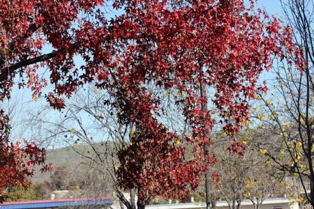 lobed: Autumn colors of Liquidambar styraciflua, American Sweet Gum, the lobed leaves turning bright orange red in autumn, before falling, fruits globose with hard spikes.