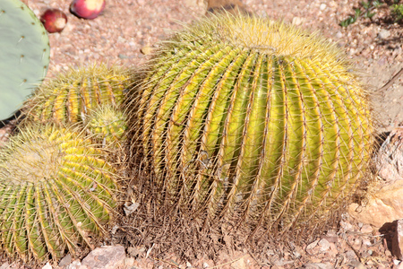 spines: Echinocactus grusonii, barrel cactus, golden barrel cactus, a cactus with single or clustered stems, globose, up to 1 m in diam with 20-40 ribs and golden yellow spines becoming paler with age