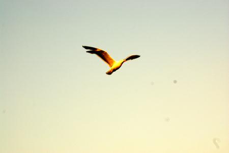 evenings: Birds in Flight, Santa Cruz, California, USA in evenings in fading light of pale yellow sky
