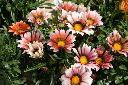 Gazania ringens Kiss Mahogany , vigorous perennial herb forming uniform mounds, leaves dark green above, whitish beneath, mahigany coloured heads with yellow center bordered with black Stock Photo