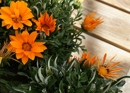 Gazania ringens Kiss Orange, vigorous perennial herb forming uniform mounds, leaves dark green above, whitish beneath, Orange Yellow coloured heads with orange center bordered with black