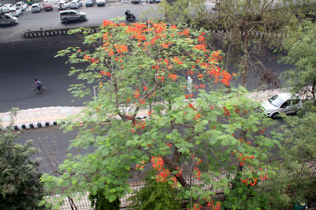 royal: Delonix regia, Royal Poinciana, Flamboyant, large deciduous tree with bipinnate leaves with small leaflets and orange red flowers in large panicles, pod flattened