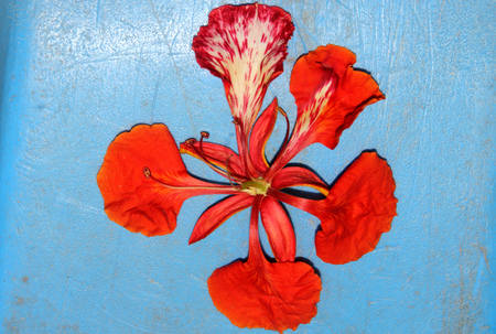 Flower of Delonix regia, Royal Poinciana, Flamboyant, large deciduous tree with bipinnate leaves with small leaflets and orange red flowers in large panicles, upper petal mottled white, pod flattened