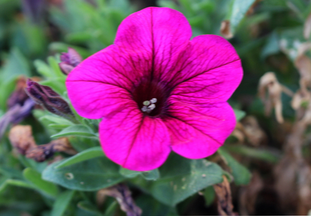 Calibrachoa parviflora, Mini petunia, early flowering compact cultivar with trailing habit and red flowers with dark colored throat and yellow anthers.