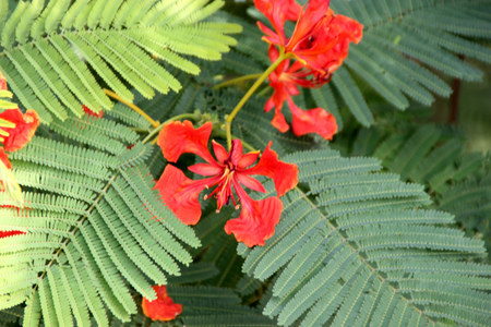 Delonix regia, Royal Poinciana, Flamboyant, large deciduous tree with bipinnate leaves with small leaflets and orange red flowers in large panicles, pod flattened