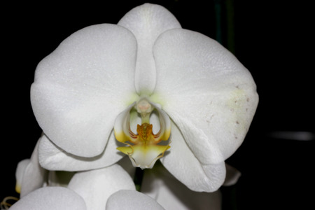 Phalaenopsis cultivar, white, hybrid ornamental white with narrow lower lip with brown and yellow patches, red markings and long whiskers. Stock Photo