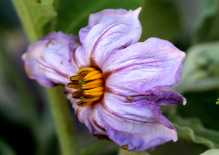 Solanum melongena, Egg plant Flower, popular food plant with purple about 4 cm across purple flower with yellow anthers. Stock Photo