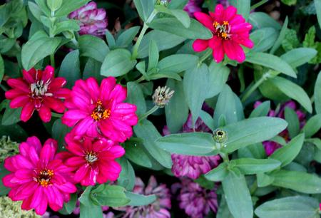 Zinnia elegans, Elegant zinnia, popular ornamental herb with opposite leaves and terminal radiate flower head in variety of colors.