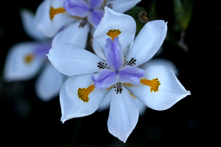 Dietes grandiflora, Large Wild Iris, Fairy Iris, rhizomatous perennial herb with linear leaves and large white flowers with yellow patches on outer perianth and dark purple stripes on inner