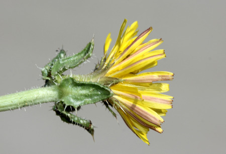 bracts: Helminthotheca echioides, bristly oxtongue , syn: Picris echioides, spreading herb with bristly leaves and yellow ligulate heads surrounded by 3-5 large ovate-cordate bristly bracts