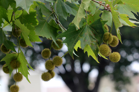 Platanus racemosa, California sycamore, Western sycamore, large deciduous tree native of California, palmately lobed shining green leaves and a row of globose fruits. Stock Photo