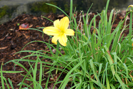 Hemerocallis lilioasphodelus, Hemerocallis flava, Lemon lily, yellow lily, clump forming perennial ornamental herb with strap shaped leaves and yellow trumpet shaped flowers