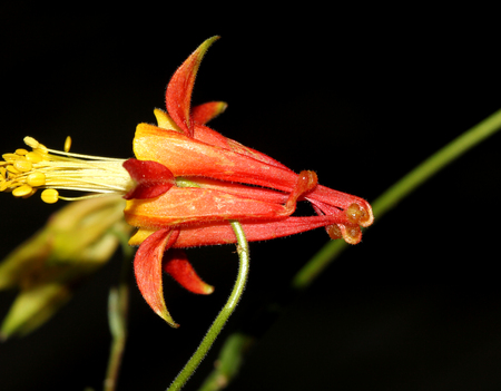 Aquilegia formosa, crimson columbine, native of North America with beautiful yellow and crimson flowers with long spurs.