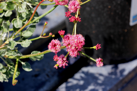 Eriogonum grande var rubescens, Red buckwheat, hardy evergreen mounding shrub with ball shaped terminal heads of rose to pink flowers.