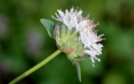 Monardella odoratissima, Mountain coyote mint, Mountain beebalm, Mountain pennyroyal, perennial herb with opposite smooth edged leaves and pale pink flowers in terminal heads. Stock Photo