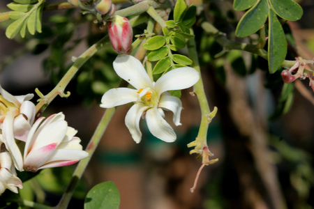 Moringa oleifera, Moringa, Drumstick tree, fast growing deciduous tree with tripinnate leaves, white scented flowers, and drooping capsules 20-40 cm long, both flowers and fruits used as vegetable. Stock Photo