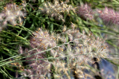 Pennisetum orientale, Orient Fountain Grass, tufted perennial grass with gray green foliage and plumes of pink spikes with cottony appearance.
