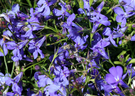 Lobelia erinus Sky Blue, herbaceous annual with trailing habit and sky blue flowers, suitable for hanging baskets.
