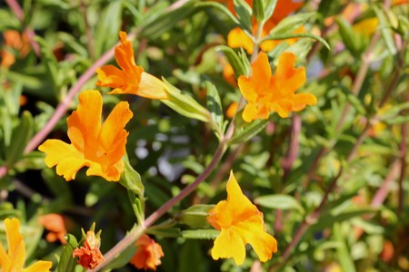 Mimulus Jelly Bean Orange, small shrubby plant with glossy leaves and orange flowers with ruffled petal margins, popular ornamental. Stock Photo