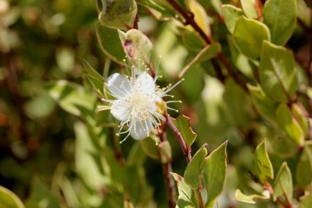 적합: Myrtus communis Compacta Variegata, Variegated compact Myrtle, Hardy evergreen low growing shrub with charming white blooms, suitable as hedge.