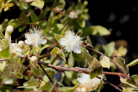 Myrtus communis Compacta Variegata, Variegated compact Myrtle, Hardy evergreen low growing shrub with charming white blooms, suitable as hedge.