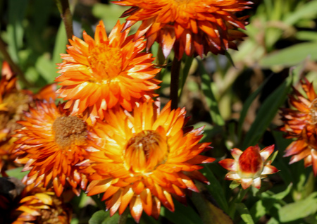 Bracteantha bracteata Mohave Orange, warm weather annual with double orange yellow straw like flowers, lasting long, excellent for cutflowers.