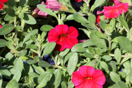 Calibrachoa Cabaret Bright Red, Mini petunia, early flowering compact interspecific hybrid cultivar with trailing habit and bright red flowers with pale yellow throat and anthers.