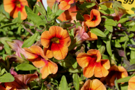 Calibrachoa Minifamous Orange Red, Mini petunia, early flowering compact interspecific hybrid cultivar with trailing habit and pure white flowers with pale yellow throat anthers.